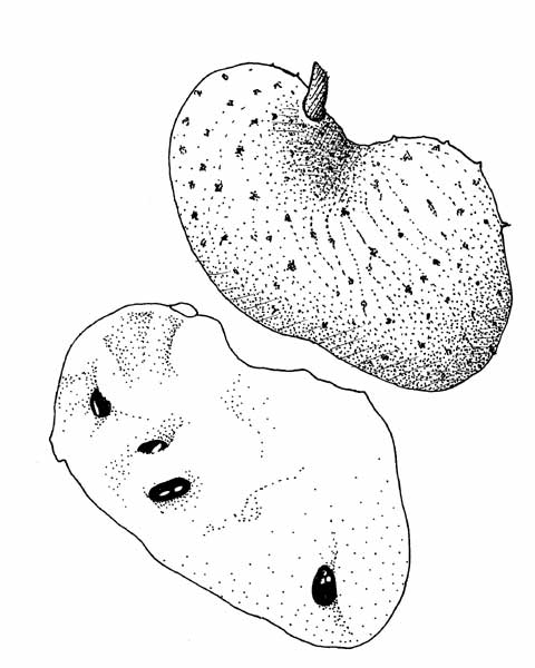 Custard Apple Coloring Pages : Natural crop protection in the tropics annona